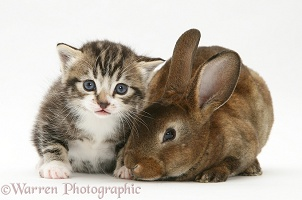 Tabby kitten with a rabbit
