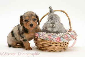 Dachshund pup with rabbit in a basket