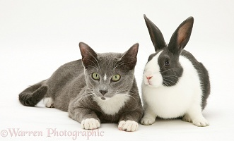 Burmese-cross cat and Dutch rabbit