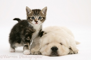 Tabby kitten with sleeping Golden Retriever pup