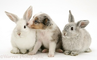 Sheltie pup with rabbits