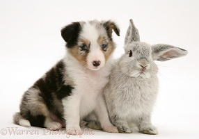 Sheltie pup with rabbit