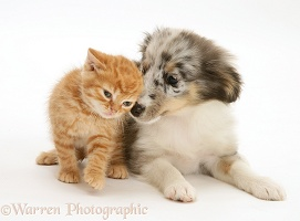 Sheltie pup and ginger kitten