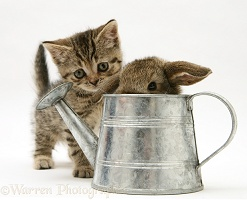 Tabby kitten with young rabbit in a metal watering can