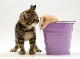 Tabby kitten with hamster in a metal bucket