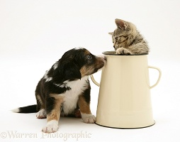 Border Collie pup with tabby kitten in an enamel metal pot