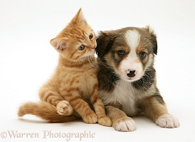 Border Collie pup and ginger kitten