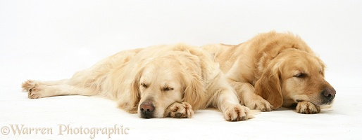 Sleepy Golden Retrievers