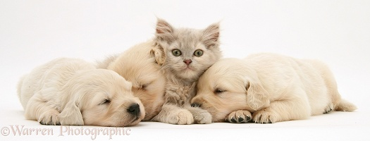 Lilac kitten in heap of sleeping Golden Retriever pups