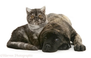 Smoke Exotic kitten and Brindle English Mastiff pup
