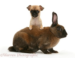 Chihuahua pup and sooty-fawn dwarf Rex rabbit