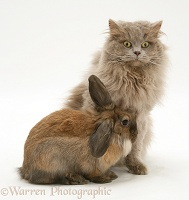 Lilac longhair cat with Dwarf Lionhead Lop rabbit
