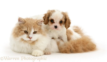 Cavalier puppy and cat