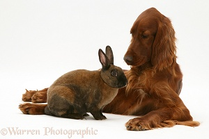 Irish Setter and sooty-fawn dwarf Rex rabbit