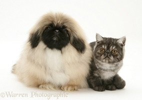 Smoke Exotic kitten and Pekingese pup