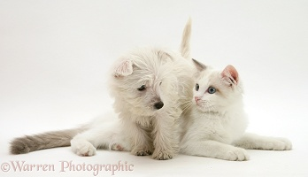 Westie pup and Ragdoll cat