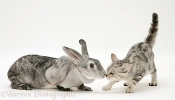 Silver tabby cat greeting silver rabbit