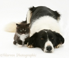 Border Collie and kitten