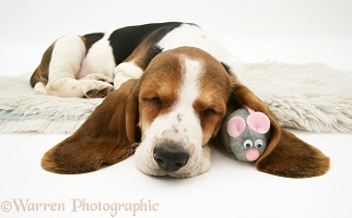 Basset pup sleeping with toy mouse under its ear