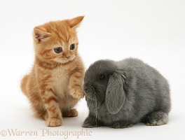 Ginger kitten and grey Lop rabbit
