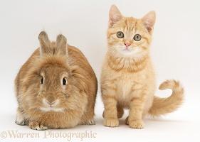 Ginger kitten with young sandy Lionhead-cross rabbit