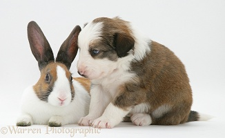 Sable-and-white Border Collie pup with fawn Dutch rabbit