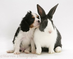 Cavalier pup and rabbit