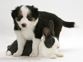 Border Collie pup and Dutch rabbit