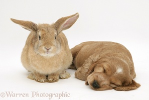 Sleepy Golden Cocker Spaniel puppy and rabbit
