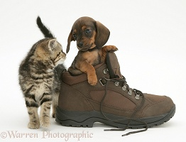 Dachshund pup and kitten and boot