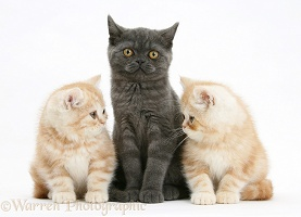 Grey kitten with two ginger kittens