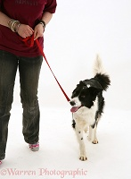 Training a black-and-white Border Collie