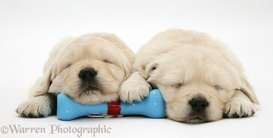 Sleepy Golden Retriever pups, 5 weeks old
