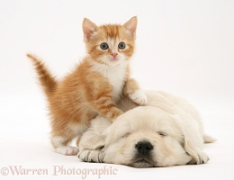 Red tabby kitten with Golden Retriever pup