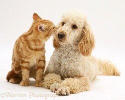 Apricot Poodle with ginger cat