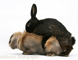 Domestic rabbits mating