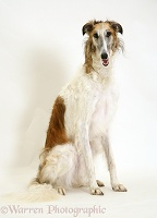 Borzoi sitting tall