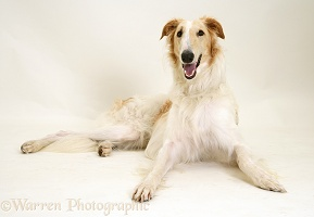 Borzoi lying, head up