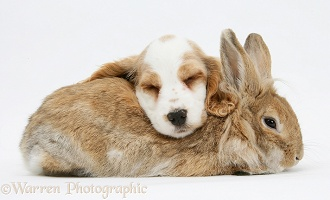 Sleepy orange roan Cocker Spaniel pup with a rabbit