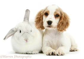 Orange roan Cocker Spaniel pup with white rabbit