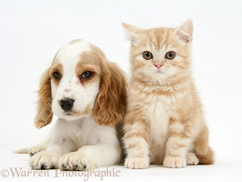 Orange roan Cocker Spaniel pup with ginger kitten