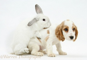 White rabbit trying to mount Cocker Spaniel pup