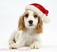 Orange roan Cocker Spaniel pup with Santa hat