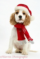 Orange roan Cocker Spaniel pup with scarf and Santa hat