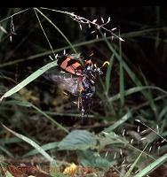 Blister Beetle taking off