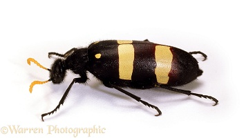 Yellow Blister Beetle