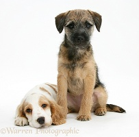 Cocker Spaniel pup with Border Terrier pup
