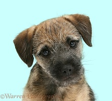 Border Terrier pup portrait