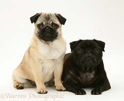 Fawn and black Pugs