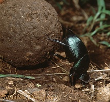 Green Scarab rolling dung ball